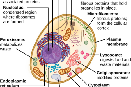 Detailed diagram of animal cell full hd pictures 4k ultra full cell anatomy structure of animal cell and plant cell under microscope diagrams generalized structure of animal cell under light microscope how to draw a ccuart Image collections