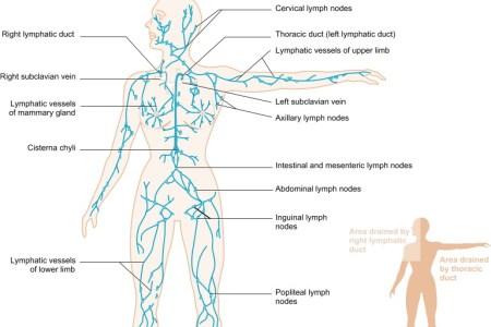 interior inferior border of inguinal lymph nodes » Electronic ...