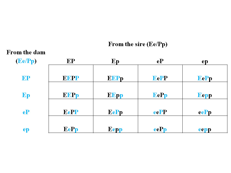 A Punnett Square: A tool to help manage simple genetic ...
