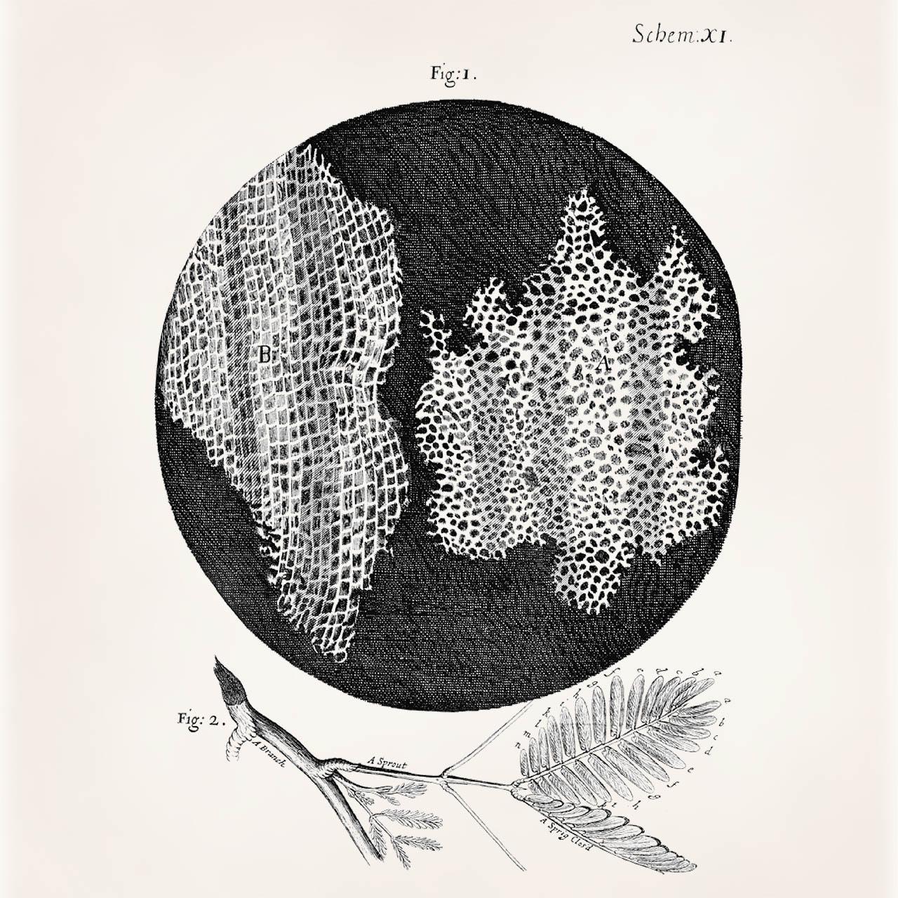 Robert Hooke Cell Diagram
