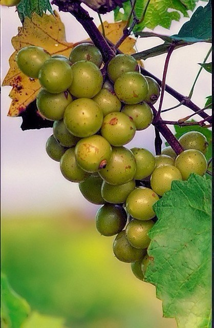 Muscadine Grapes The Most Well Adapted Grapes For Florida