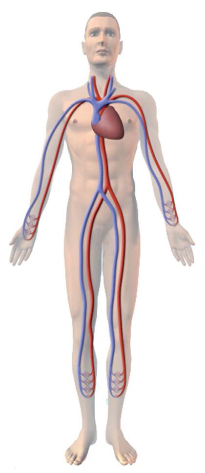 circulatory system images - 420×966