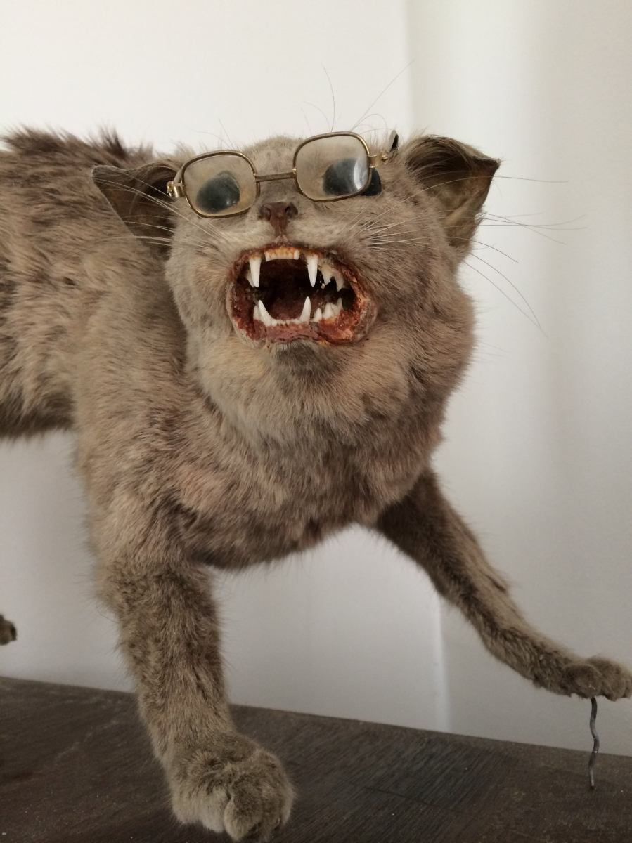 Antique Taxidermy Scaredy Cat Eccentric Antiquities