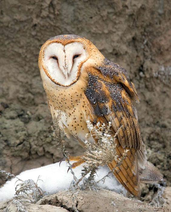 Barn Owl (Tyto alba) in Explore Raptors: Facts, habitat ...