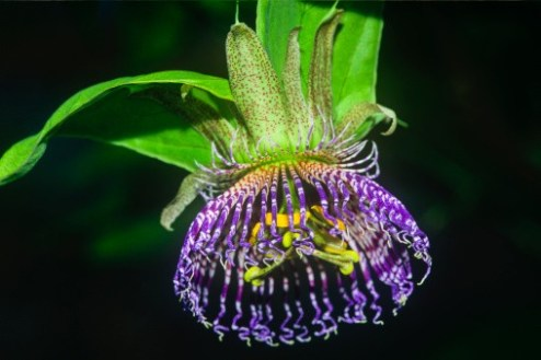 the cutest flowers 6  Wild Maypop