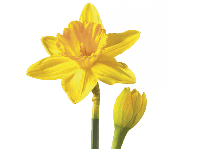 Daffodil Narcissus Flower Meaning   Symbolism   Teleflora Narcissus Daffodil