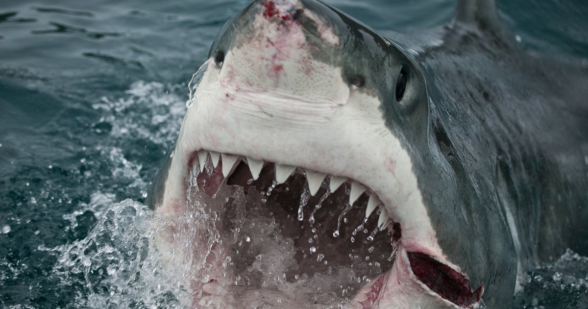Great Whale White Eating Shark