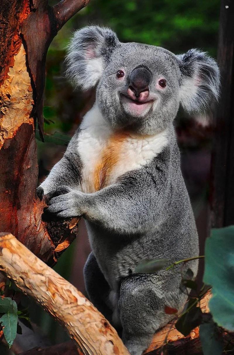 smiling koala picture - 674×1024