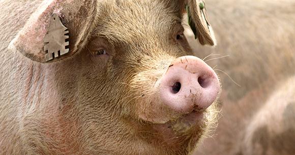 How Do Slaughterhouses Kill Pigs