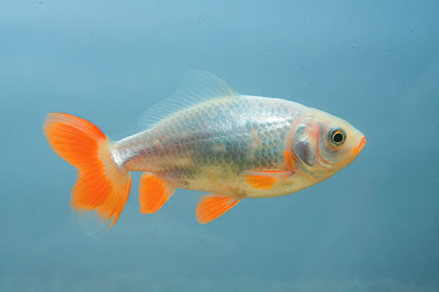What is a Jikin goldfish? - Practical Fishkeeping