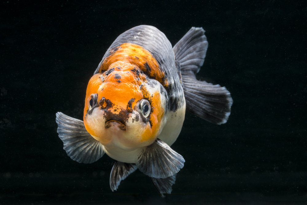Open day for Goldfish lovers at Star Fisheries - Practical ...