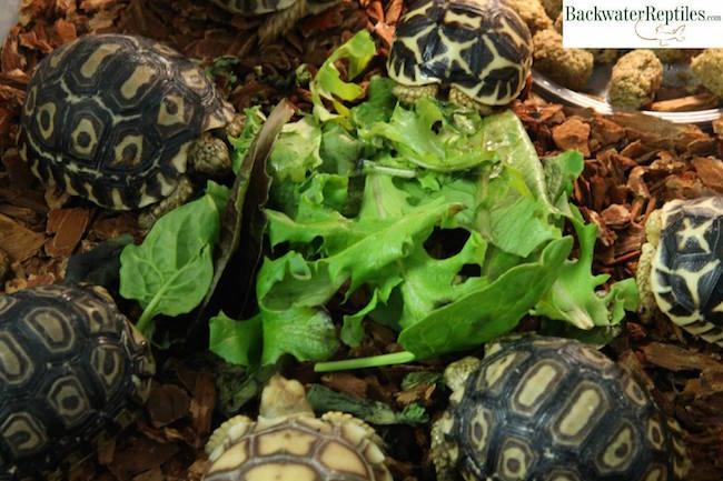 Thigh Tortoise African Spur