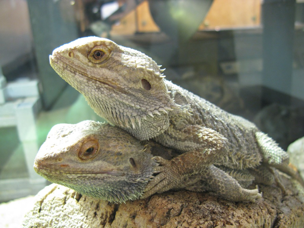 Lounge Lizards: The Bearded Dragons   Backyard Zoologist