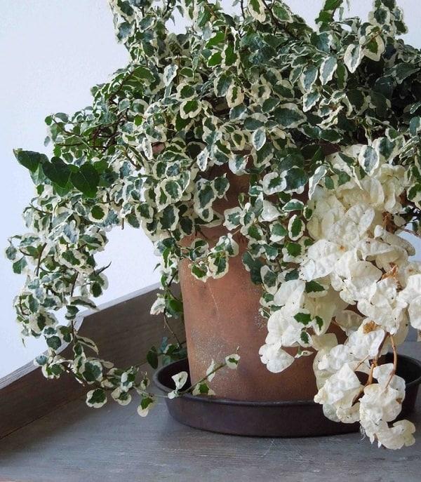Hanging Vine House Plants
