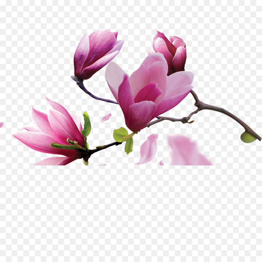 Canvas Oil painting Magnolia   Magnolia flowers png download   1417     Canvas Oil painting Magnolia   Magnolia flowers
