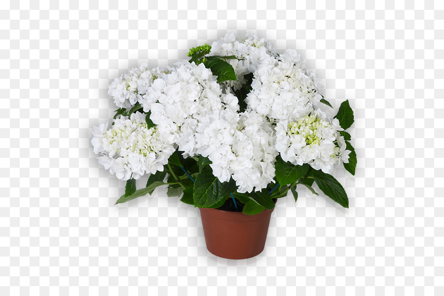 Cut flowers French hydrangea White Shrub   Blumen png download   600     Cut flowers French hydrangea White Shrub   Blumen