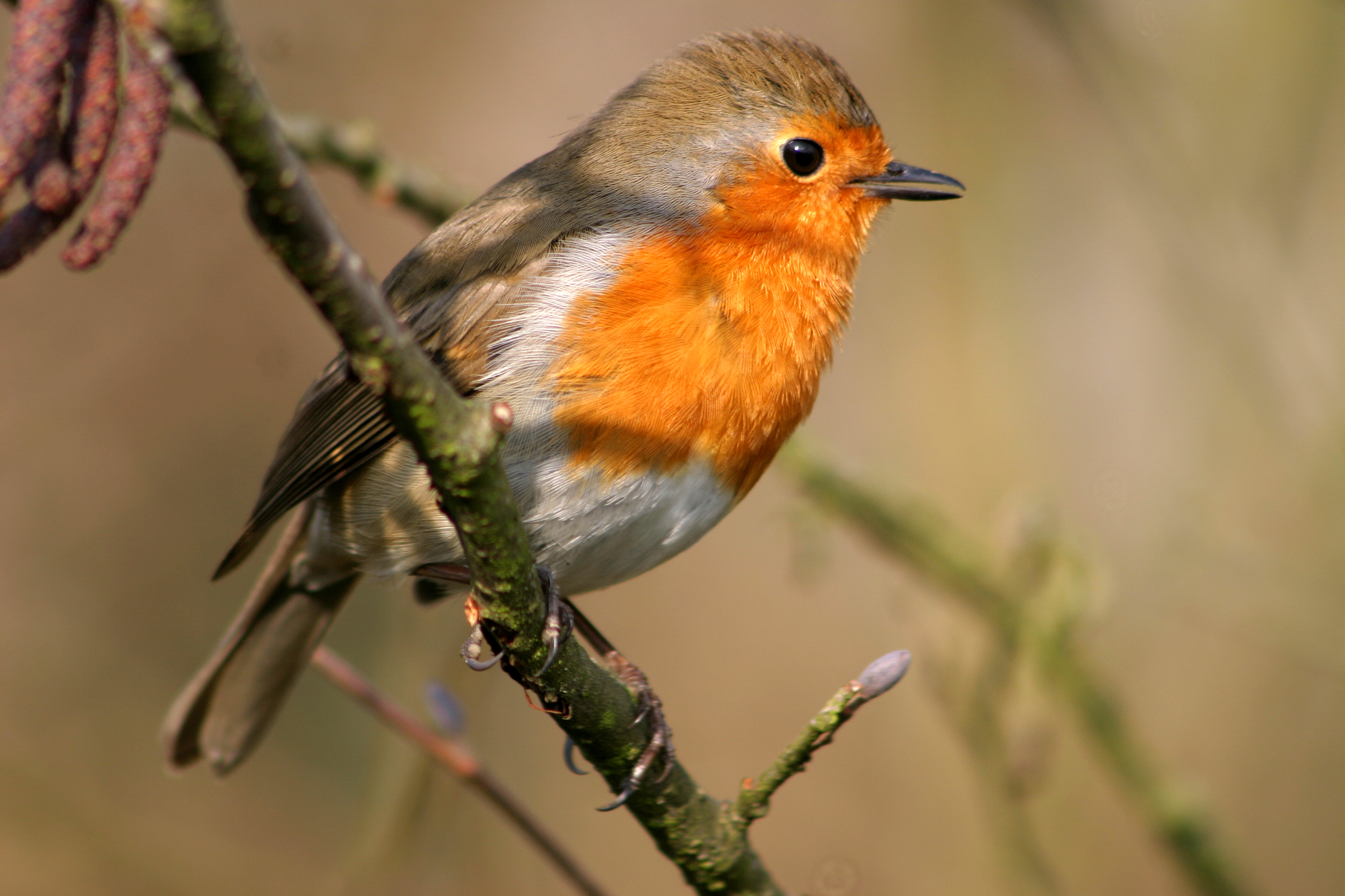 Chats and Robins - BIRDS BY COMMON NAME GROUPS