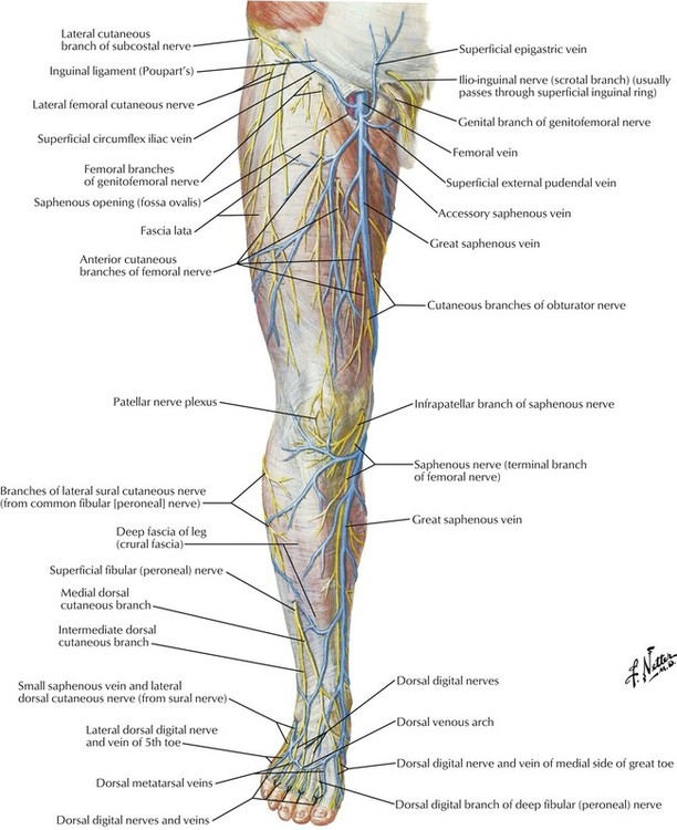 Common Femoral Veins Of Leg Anatomy