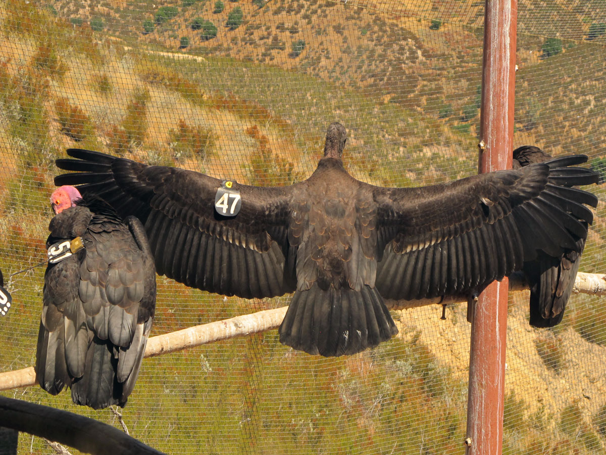 A Condor Recovery Fueled By Volunteers Needs More Help
