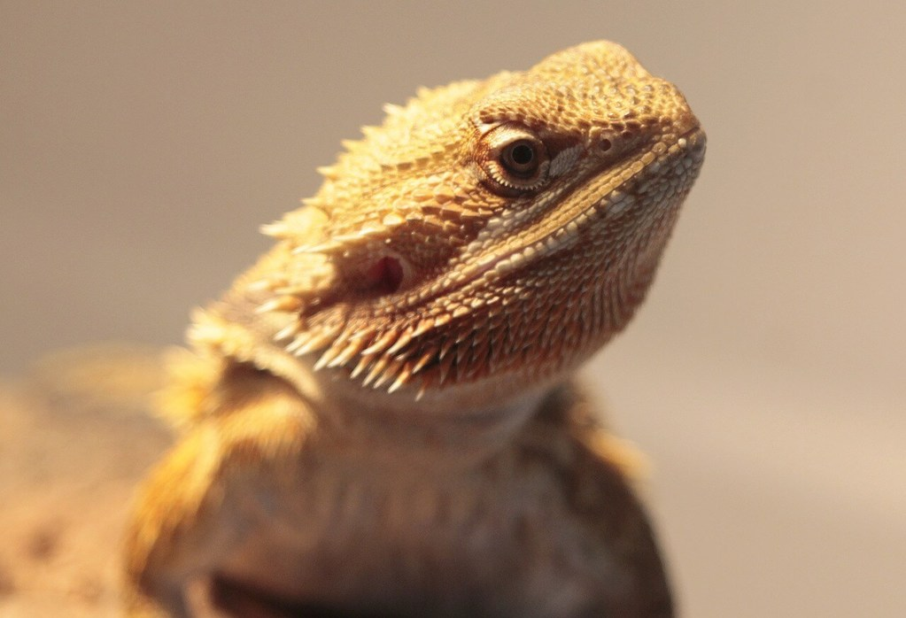 Bearded Dragon Light Bulb