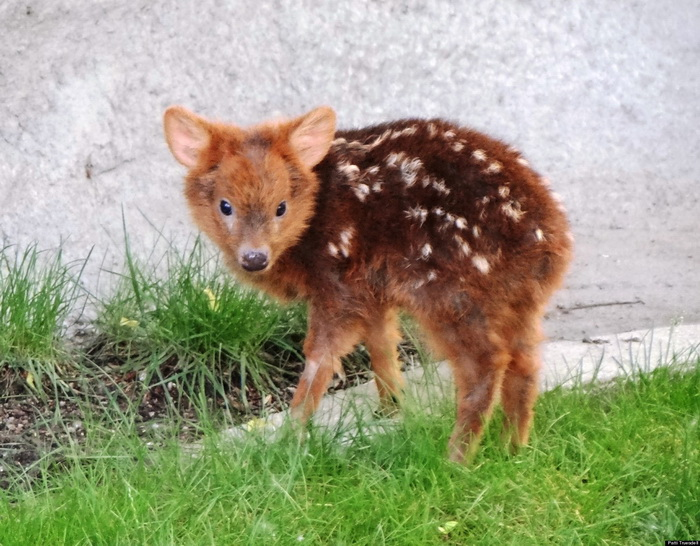 6 Cutest Photos Of The Smallest Deer In The World