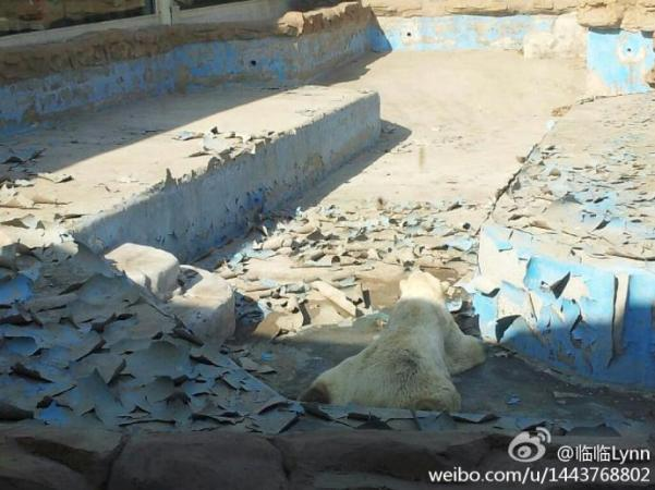 This Sad Polar Bear In Beijing Again Highlights The Paltry Condition     Sad polar bear at Beijing Zoo