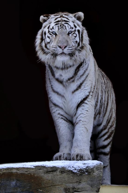 Amazing Animated White Tiger Gif Images At Best Animations