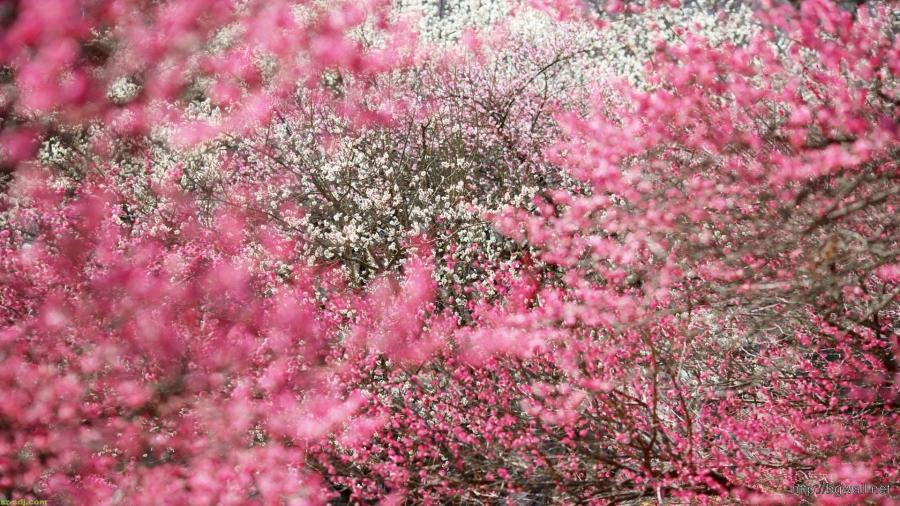 Awesome Cherry Blossom Japanese Flowers Wallpaper     Background     Awesome Cherry Blossom Japanese Flowers Wallpaper