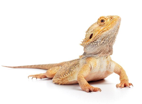 Lizard Feeding - Animal Facts and Information