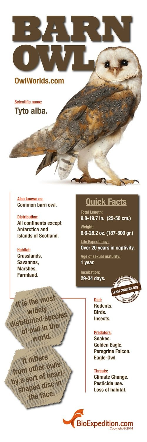 Barn Owl Infographic - Animal Facts and Information