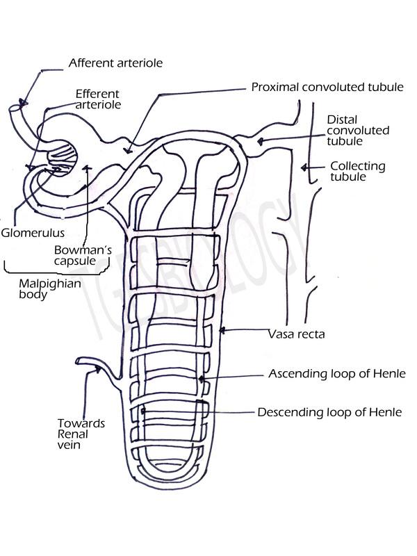Parts Glomerulus