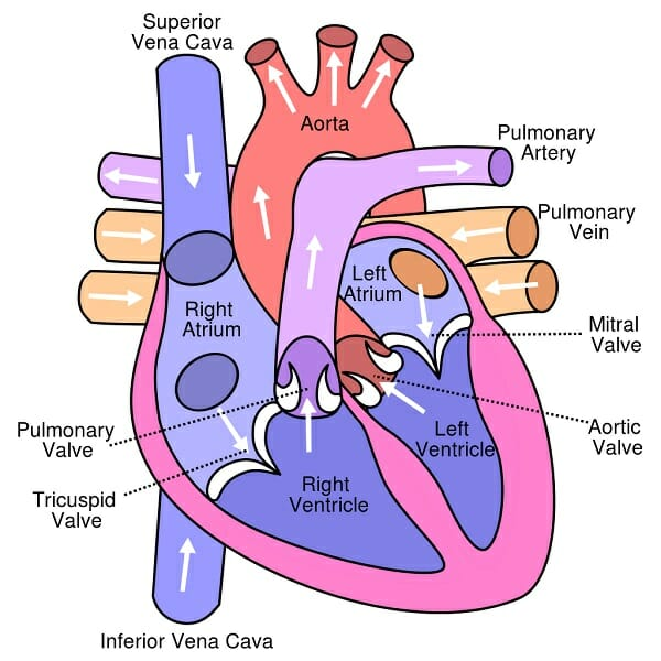 Circulatory System - Definition, Function and Parts ...