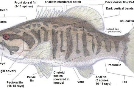 interior internal features of a fish » Electronic Wallpaper ...