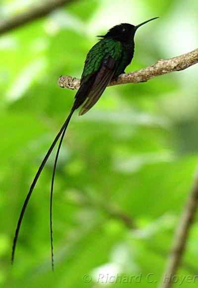 Jamaica's Endemic Birds Part 2