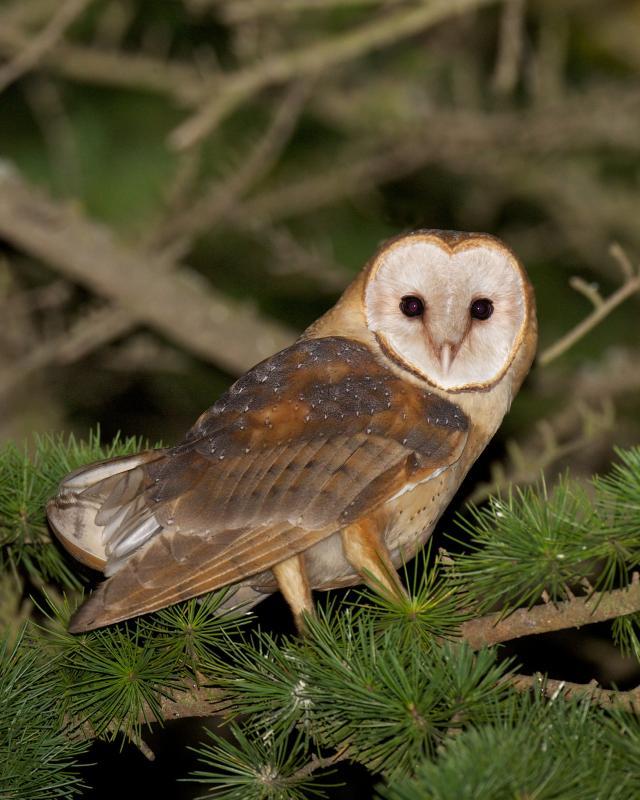 Barn Owl at Night   BirdNote