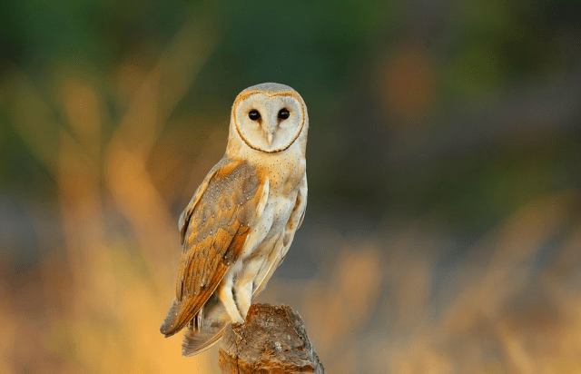 The Illinois Barn Owl Recovery Plan: Q and A with Dr ...