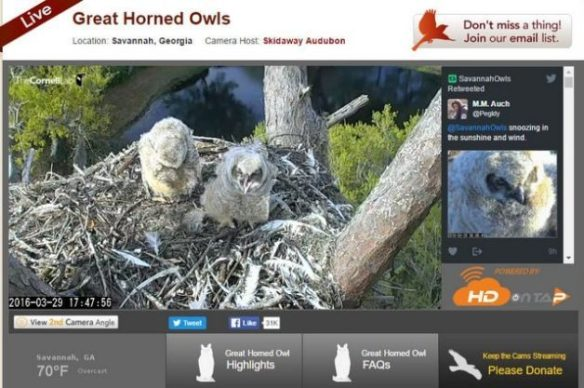 Cornell Lab of Ornithology Bird Cams Q A   Bird Photography Cornell Lab of Ornithology Bird Cams Owls