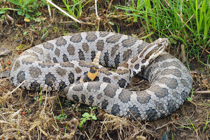 Rattlesnake Roundup Planned for Protection of Rare Species ...