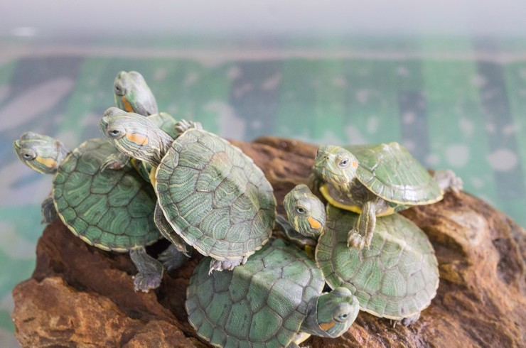 Аквариумные черепахи могут жить группами