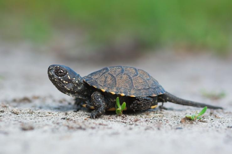 Детёныш болотной черепахи