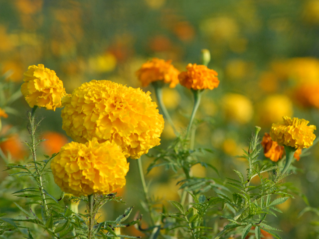 Marigold  The Mexican flower that has become a part of Indian festivals One practical reason for their use in funerals might be that the flowers  and leaves contain powerfully insect repelling oils