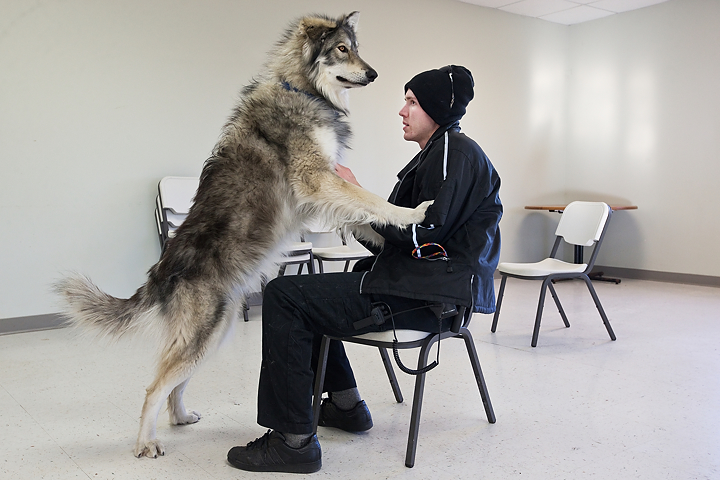 Free Wolf Hybrid Puppies