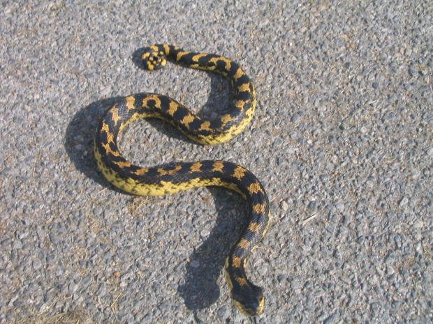 Maryland's Eastern hognose snake | Travel And Outdoors ...
