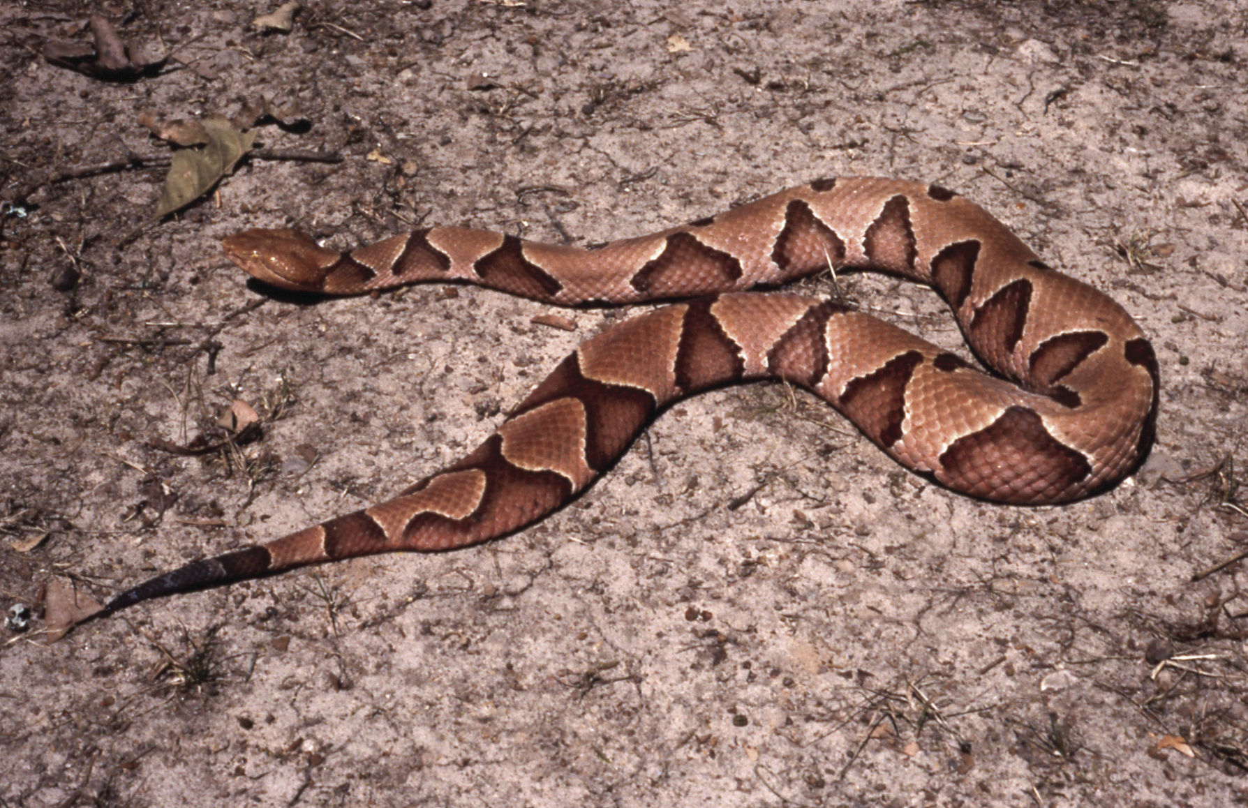 northern copperhead pictures - HD 1200×777