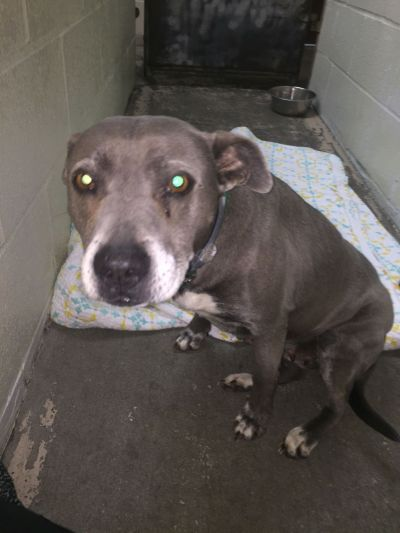 Found Dog Gray And White Pitbull Mix In Vass Pets