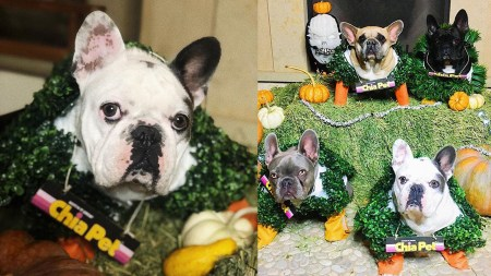 lady gaga dressed her dogs as chia pets for a halloween photoshoot