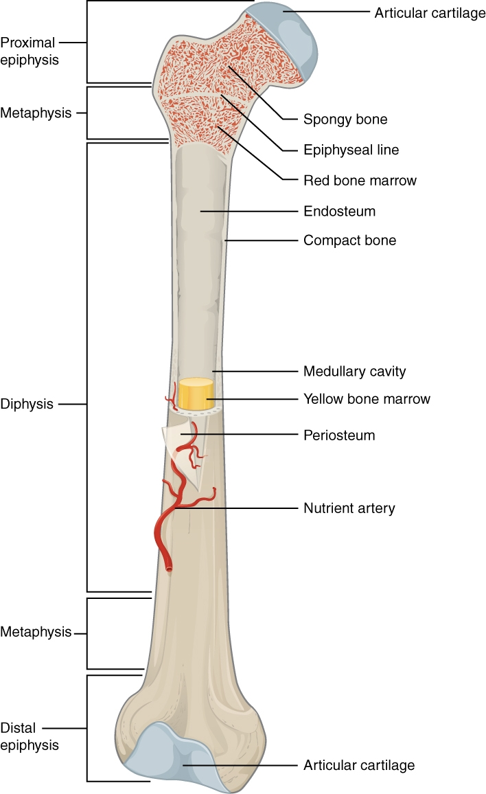 Compact Bone Labeled Osteocyte