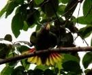 Amazona-Jamaicana-Piquiclara-(5)