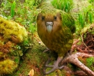 Kakapo-(5)
