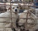 china-dogs7